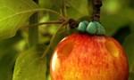Minuscule : La Vie privée des insectes 2x78 ● Pomme d'amour