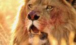 Voir la critique de Terreur dans la savane : Un roi Lion pas sympa